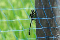 ■ネットの中のトンボ 3種20.8.27(オニヤンマ、ギンヤンマ、シオカラトンボ) - 舞岡公園の自然2