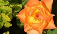 今から少しづつ - バラとハーブのある暮らし Salon de Roses