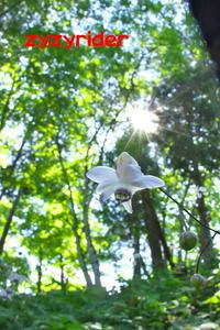 レンゲショウマの最後の撮影 - ジージーライダーの自然彩彩