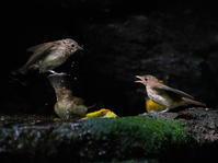 人気の水場は3密!ソーシャルディスタンスは無関係OBI - シエロの野鳥観察記録