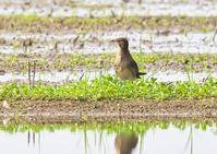 ツバメチドリ 2/3 - くまさんの二人で鳥撮り