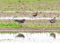 ツバメチドリ 3/3 - くまさんの二人で鳥撮り