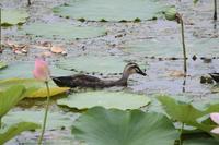 池の風景カルガモ - 赤いガーベラつれづれの記