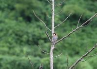 我が家-ヤマガラ、コゲラ - 写真で綴る野鳥ごよみ