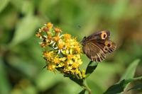 高原の蝶-1(ベニヒカゲ、クジャクチョウ:2020/8/19) - 小畔川日記
