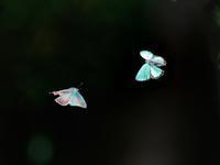 お山のミドリシジミ2020(飛翔編) - トドの野鳥日記