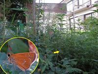 自宅にオオチャバネセセリ - 秩父の蝶