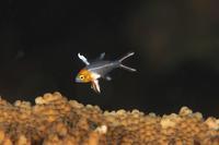 ヒオドシベラ幼魚 - Diving Photo web図鑑
