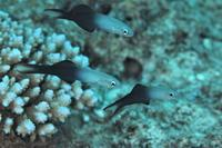 クロユリハゼ - Diving Photo web図鑑
