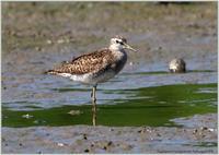 タカブシギに再び - 野鳥の素顔 <野鳥と日々の出来事>