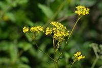 ■古民家まわりの花 3種 (2)20.8.29(オミナエシ、オトコエシ、タコノアシ) - 舞岡公園の自然2