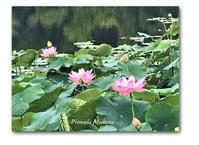 蓮の花を見に - 雪割草 - Primula modesta -