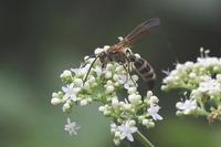 キタキチョウの飛翔 - Surrounded by nature