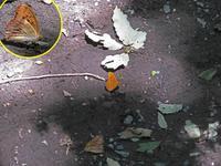 メスグロヒョウモン覚醒 - 秩父の蝶
