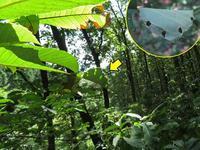 アオバセセリ幼虫のシェルター - 秩父の蝶