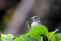 コサメビタキに逢いに出かけてきました - 私の鳥撮り散歩
