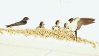 ツバメ - 北の野鳥たち