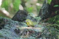 メジロシリーズ1…水浴び - 上州自然散策3