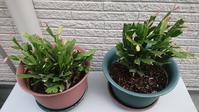 ようこそ♪シャコバサボテンと、カクテルマムの植え替え - Ree's Blog