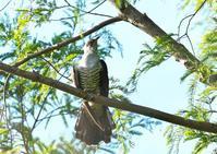 ツツドリ - くまさんの二人で鳥撮り