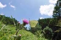 ヤマキチョウの吸蜜活動を堪能 - 蝶超天国