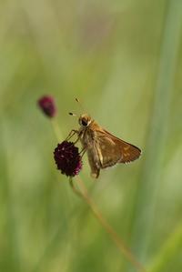 高原のアカセセリの交尾など - 蝶超天国