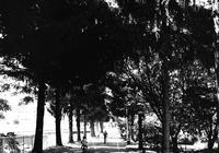 エゾマツの街路樹と65年来の親友との会食 - 照片画廊