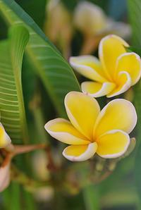 8/29プルメリアの花 - 「あなたに似た花。」