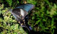 処暑天地始粛 - 紀州里山の蝶たち