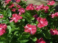 夏の日差しには赤い花が似合う - ヒバリのつぶやき