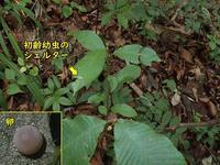 アオバセセリの卵とシェルター - 秩父の蝶