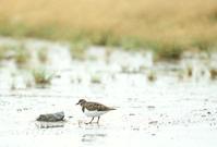 キョウジョシギ - 北の野鳥たち