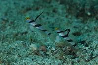 ヒレナガネジリンボウとネジリンボウ - Diving Photo web図鑑
