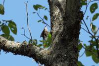 2020-155 遠くの木にゴジュウカラ - 近隣の野鳥を探して2