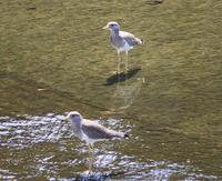 今日の鳥さん200901 - 万願寺通信