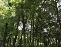 残暑と武蔵野の雑木林 - ひのきよ