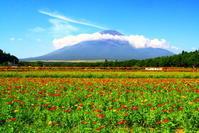 令和2年8月の富士(12)花の都公園の百日草と富士 - 富士への散歩道 ~撮影記~