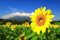 令和2年8月の富士(13)花の都公園の向日葵と富士 - 富士への散歩道 ~撮影記~