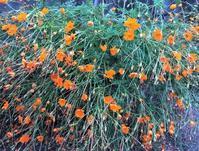 作物の夏バテ - 島暮らしのケセラセラ