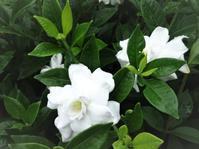 くちなしの花 - だんご虫の花