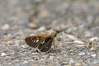 オオチャバネセセリ・・2化 - 続・蝶と自然の物語