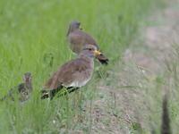 田園地帯にいたケリの群れ - コーヒー党の野鳥と自然パート3