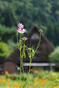 美山かやぶきの里 - Taro's Photo