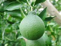 デコポン(肥後ポン)果実を大きく成長させる匠の水管理と来年のための夏芽の話!前編 - FLCパートナーズストア