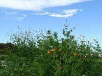 キバナコスモスと蝶たち - Magnolia Lane 2