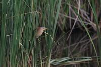 ヨシゴイ飛出し - 気まぐれ野鳥写真