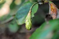 オオヤマレンゲの果実を探そう・・・赤城自然園 - 『私のデジタル写真眼』