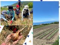 2020年6月淡路島へ②自然栽培の玉ねぎ収穫 - Naokobayashi's Blog