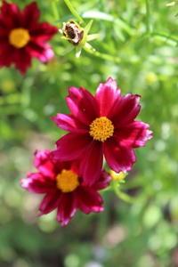 クレマチス渾身の二番花(*^^) - ペコリの庭と時々パン