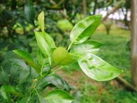デコポン(肥後ポン)果実を大きく成長させる匠の水管理と来年のための夏芽の話!後編 - FLCパートナーズストア